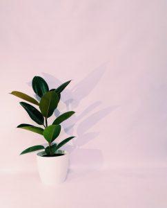 ficus-elastica-rosa