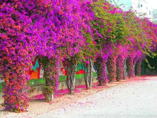 bungavilla-trepadora-del-verano