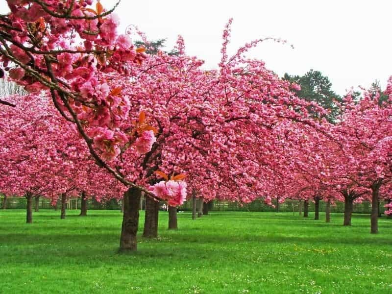 cerezo-en-flor-rosa