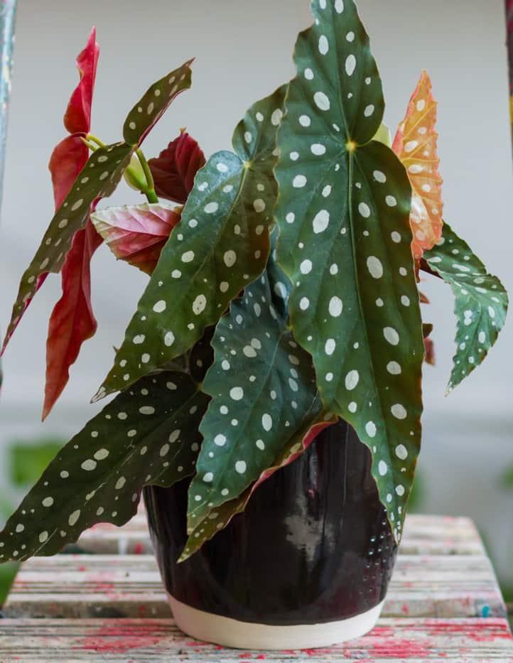Begonia-maculata-maceta