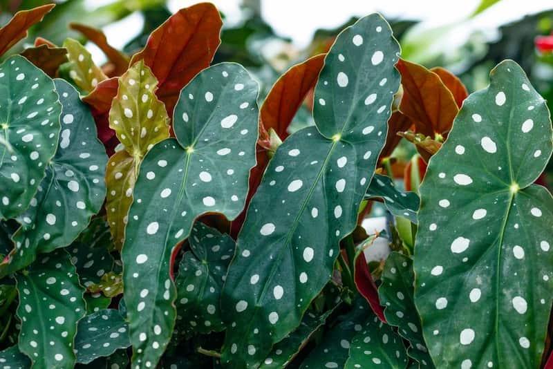Begonia-maculata-cuidados