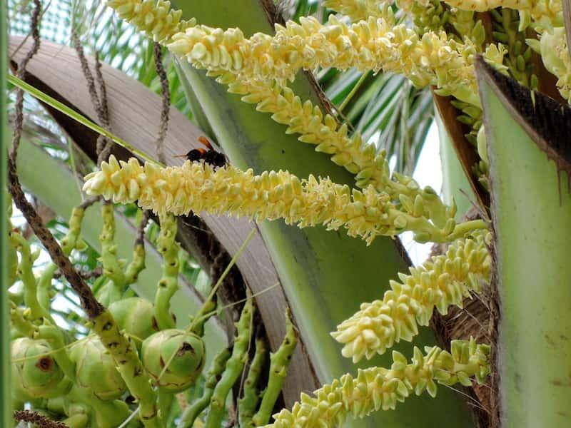 cocotero-nucifera-flor