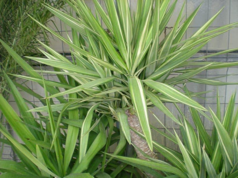 yuca-planta-verde