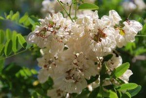 acacia-flor-blanca