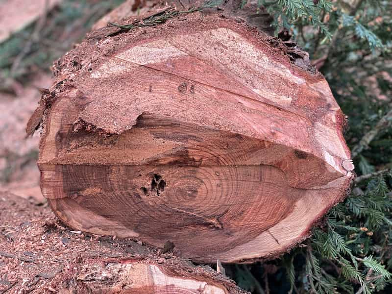 phythophtora-tronco-secuoia