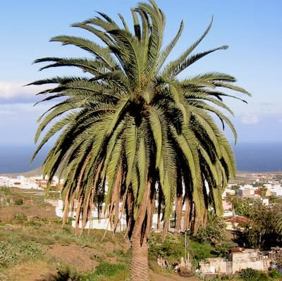 palmera-canaria