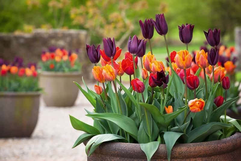 maceta-tulipan