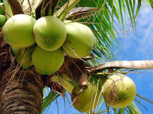 coco-arbol-cocotero