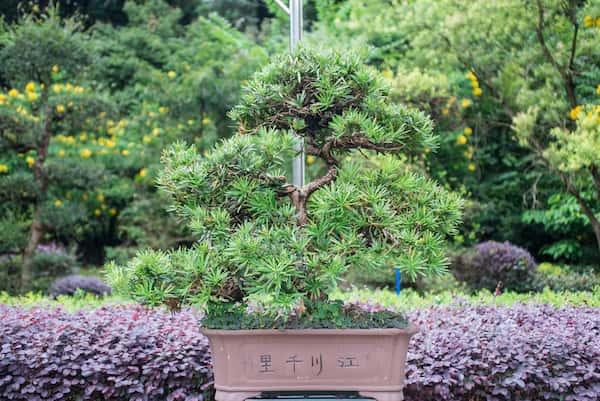 bonsai-hermoso-creciendo-en-maceta