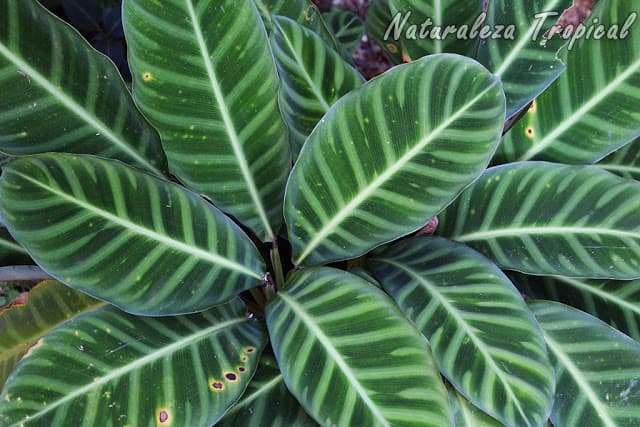 calathea-hojas