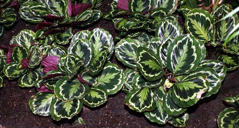 calathea-suelo-verde-claro