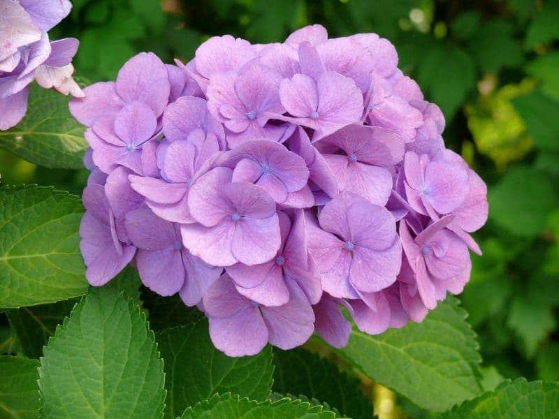 hortensia-flor-rosa