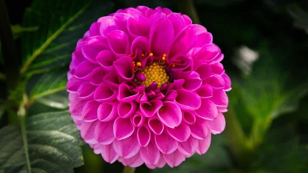dahlia-flor-ornamental