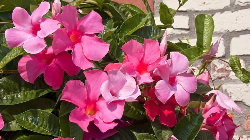 Dipladenia-mandevilla-flor-elegante