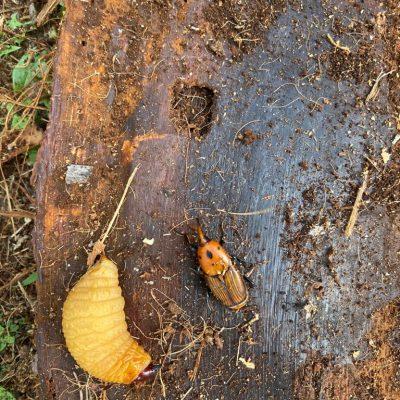 escarabajo-en-bosque