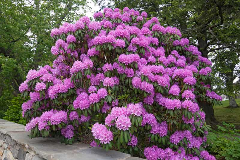 Flores-lilas-rododendro