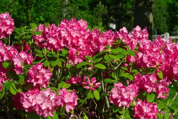rododendro-peculiar-arbusto