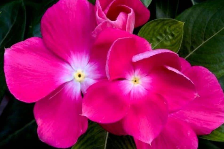 Flor-magenta-plantas-ornamentales