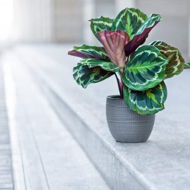 la-calathea-planta-tropical