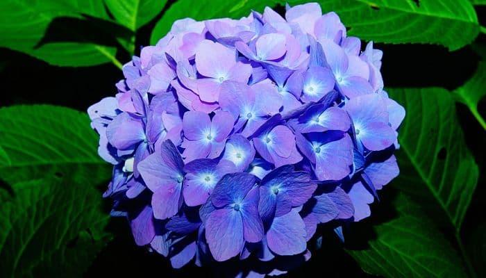 hortensia-lila