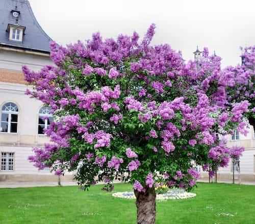 arboles-ornamentales