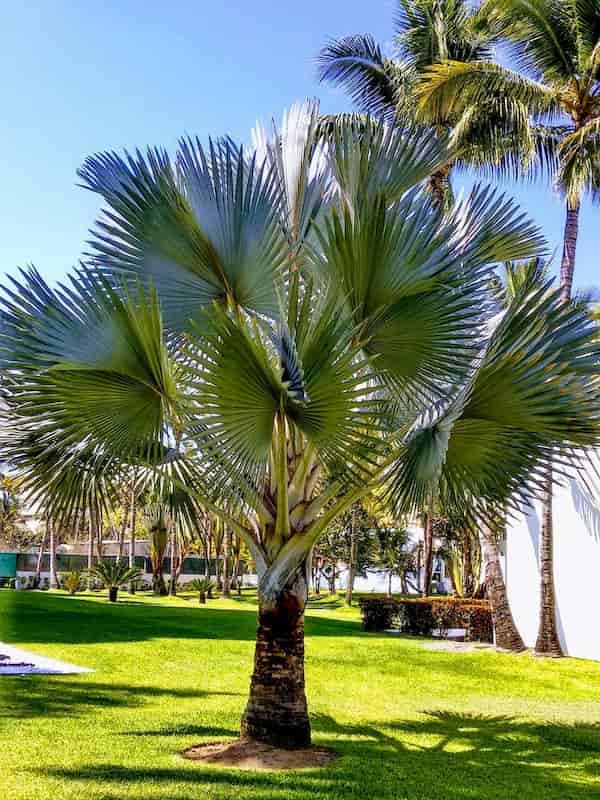 palmera-ornamental