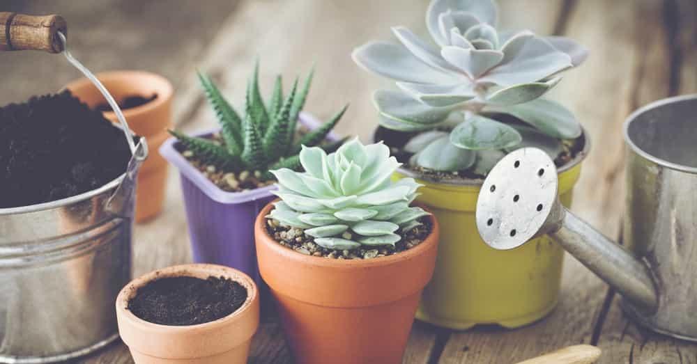 plantas-suculentas-para-interior