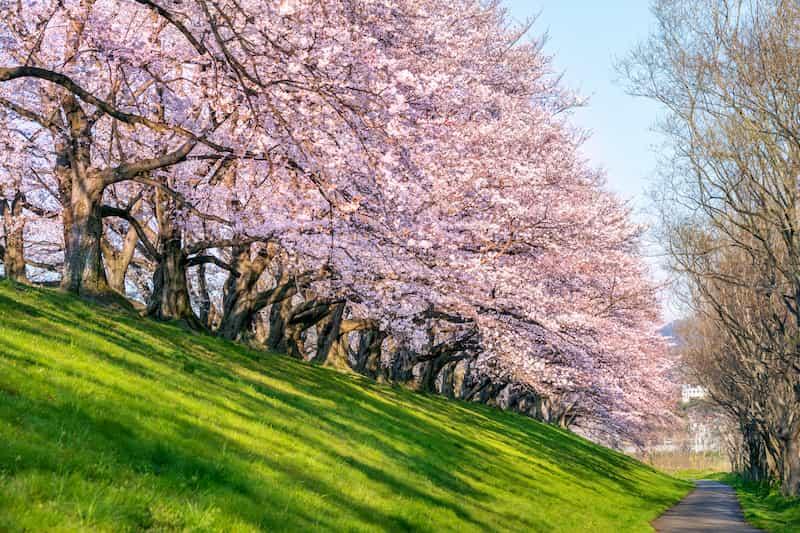 cerezo-en-flor-jardin