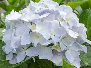hortensia-blanca