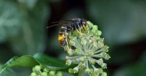 avispa-en-flor
